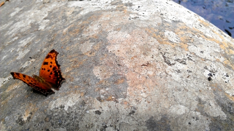 An orange butterfly on a rock on the trail to Ramsey Cascades in the Great Smoky Mountains National Park.