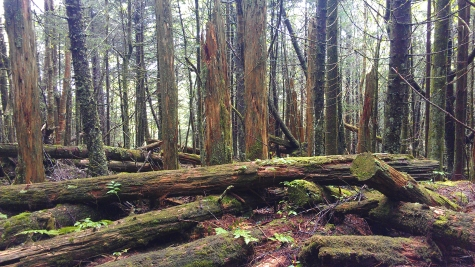 Mossy trees along the Appalachian Trail on the way to Clingmans Dome in the Great Smoky Mountains National Park.